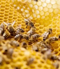 les-abeilles- pesticides frelons asiatiques