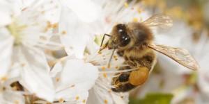 les abeilles en voie de disparition aux etats unis les insectes. Black Bedroom Furniture Sets. Home Design Ideas