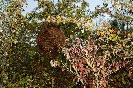photo d 39 un nid contenant des milliers de frelons asiatiques cars dans le sud ouest les insectes. Black Bedroom Furniture Sets. Home Design Ideas