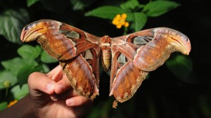 atlas_moth_cc_thomas_bresson