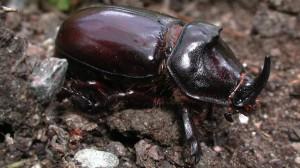 scarabee_cc_hannuniemi