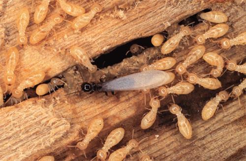 les moyens naturels pour se d barrasser des termites dans un meuble les insectes. Black Bedroom Furniture Sets. Home Design Ideas