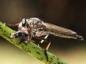 Asilidae  ou les mouches à toison