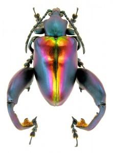 Frog-legged Leaf Beetle – Sagra buqueti